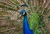 Peacock2726KSat