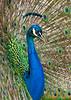 Peacock2747KSat