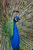 Peacock2764K