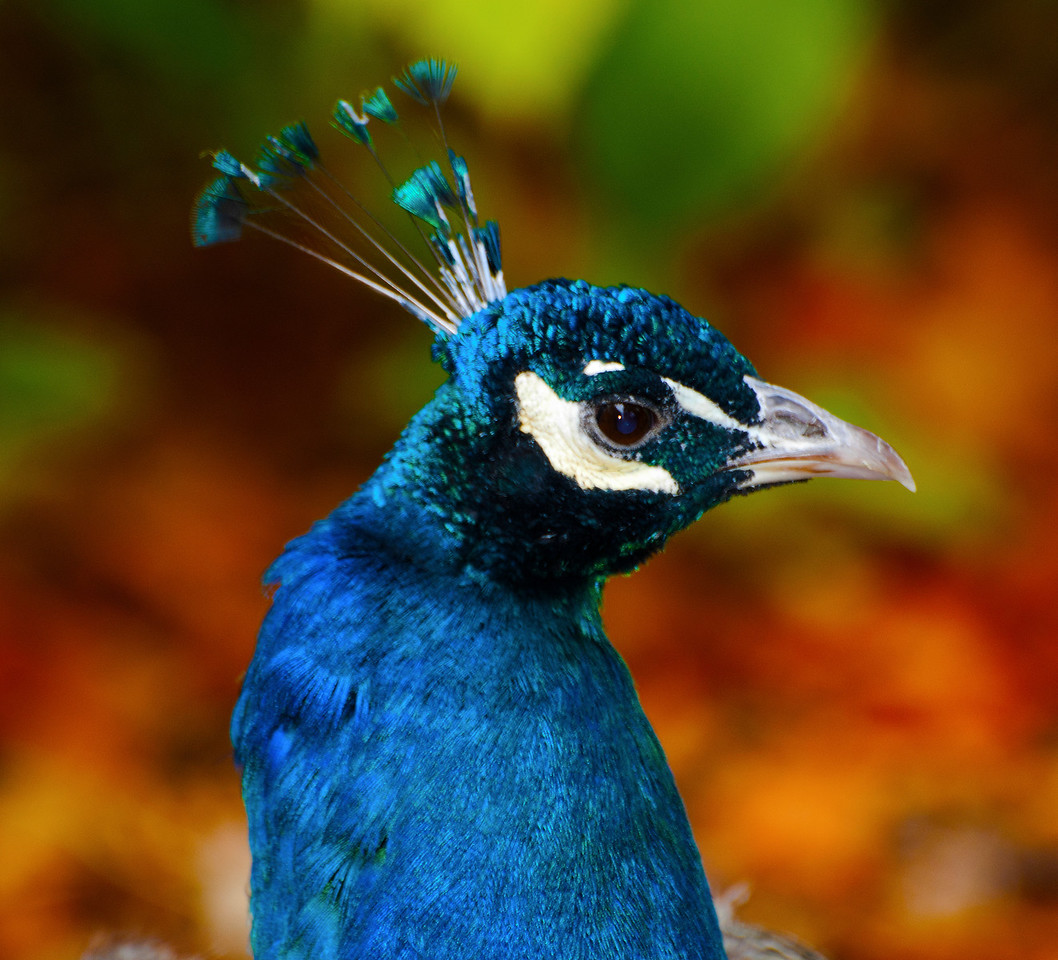 Male Indian Peacock