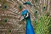 Peacock2729K