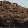 California Sea Lions with Western Gulls<br /> SE Farrallon Island, CA<br /> Aug 7, 2011