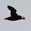 Tufted Puffin<br /> off SE Farrallon Island, CA<br /> Aug 7, 2011