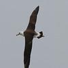 Laysan Albatross<br /> off Farallon Islands, CA<br /> August 7, 2011