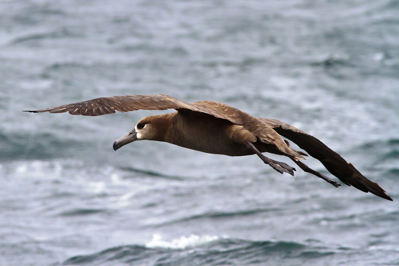 Black-footed Albatross<br /> off Farallon Islands, CA<br /> August 7, 2011
