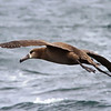 Black-footed Albatross<br /> off Farallon Islands, CA<br /> August 7, 2011