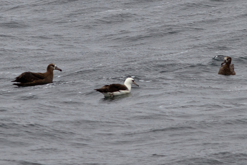 Black-footed  and Laysan Albatross<br /> off Farallon Islands, CA<br /> August 7, 2011