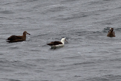 Black-footed  and Laysan Albatross off Farallon Islands, CA August 7, 2011