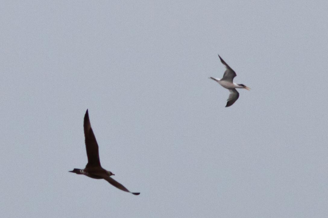 Parasitic Jaeger chasing Elegant Tern off Farallon Islands, CA August 7, 2011