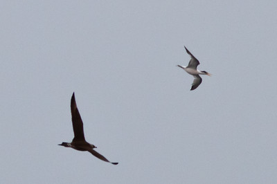 Parasitic Jaeger chasing Elegant Tern off Farallon Islands, CA August 7, 2011