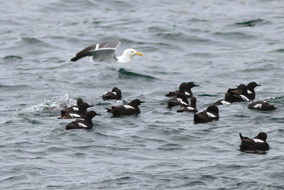 Pigeon Guillemots with Western Gull off SE Farrallon Island, CA Aug 7, 2011