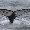Humpback Whale<br /> off Farallon Islands, CA<br /> August 7, 2011