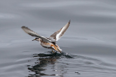 Red Phalarope, Farralon Islands, August 5, 2012
