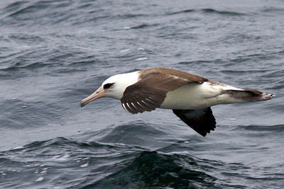 Laysan Albatross off Farallon Islands, CA August 7, 2011