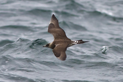 Parasitic Jaeger off Farallon Islands, CA August 7, 2011