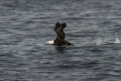 Leucistic Sooty Shearwater, Farralon Islands, August 5, 2012
