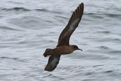 Sooty Shearwater off SE Farrallon Island, CA Aug 7, 2011