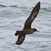 Sooty Shearwater<br /> off SE Farrallon Island, CA<br /> Aug 7, 2011