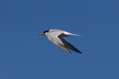 Common Tern September 7, 2013