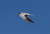 Common Tern<br /> September 7, 2013