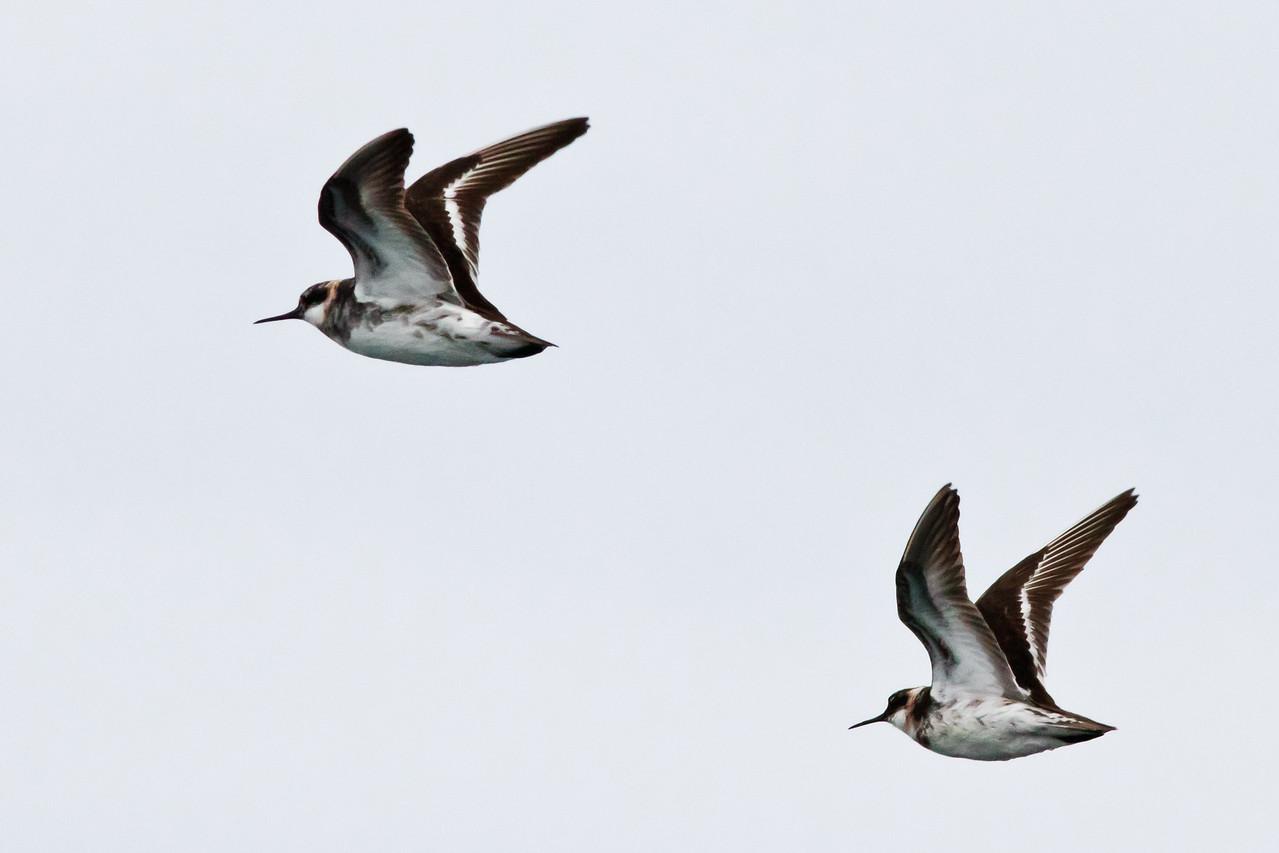 Red-necked Phalaropes Half Moon Bay, CA       July 31, 2011