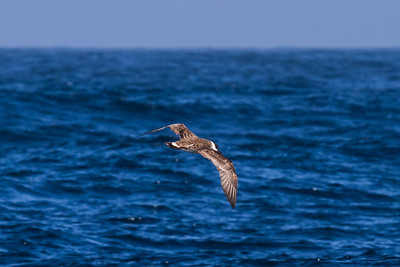 Great Shearwater September 7, 2013
