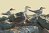 Elegant Terns with Western and Heerman's Gulls<br /> Half Moon Bay, CA       July 31, 2011