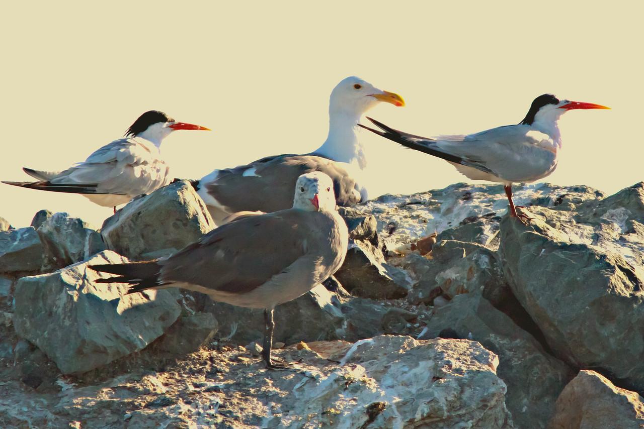 Elegant Terns with Western and Heerman's Gulls Half Moon Bay, CA       July 31, 2011