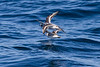 Red and Red-necked Phalaropes<br /> September 7, 2013