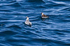 Red and Red-necked Phalaropes