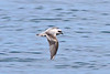 Fork-tailed Storm-petrel<br /> Half Moon Bay, CA       July 31, 2011