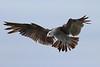 Heerman's Gull<br /> Half Moon Bay, CA       July 31, 2011
