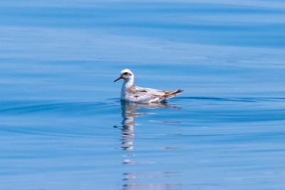 Red Phalarope Half Moon Bay, CA       July 31, 2011