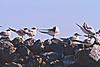 Elegant Terns<br /> Half Moon Bay, CA       July 31, 2011
