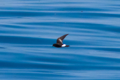 Wilson's Storm-petrel Half Moon Bay, CA       July 31, 2011