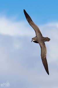 Grey-headed Petrel