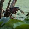 Green Heron With Tadpole