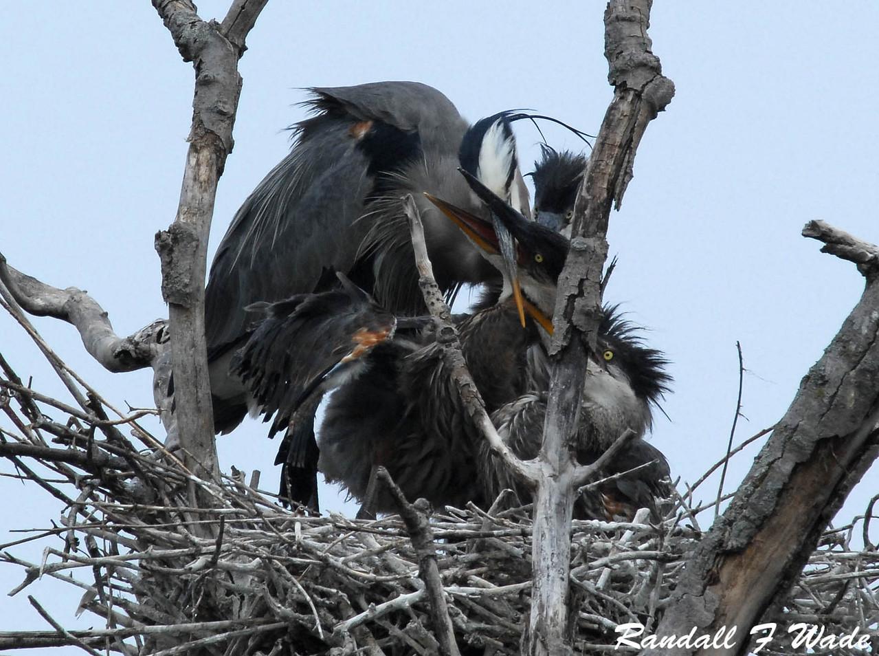 Great Blue Heron Feeding Frenzy 1
