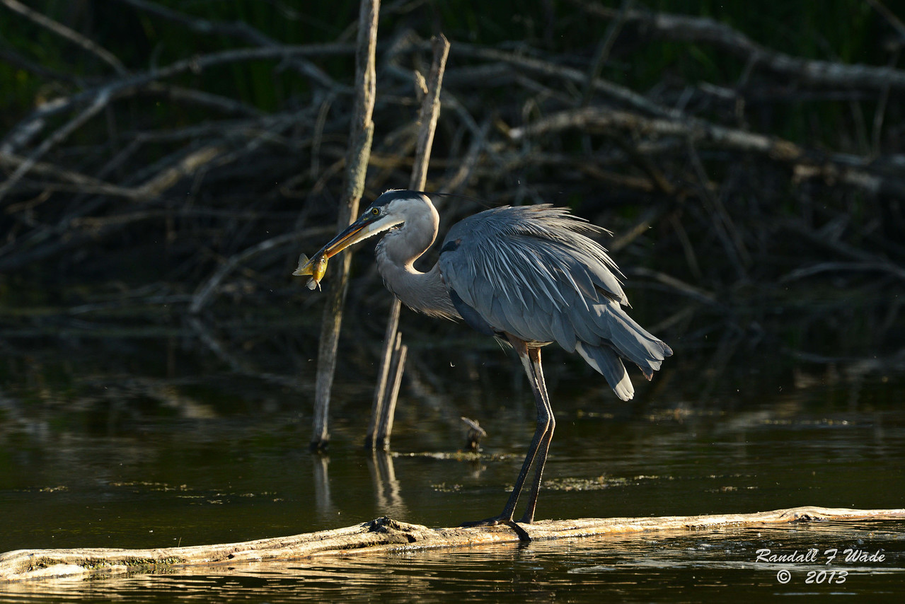 Great Blue Heron and Bluegill