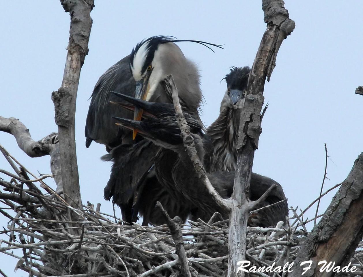 Great Blue Heron Feeding Frenzy 2