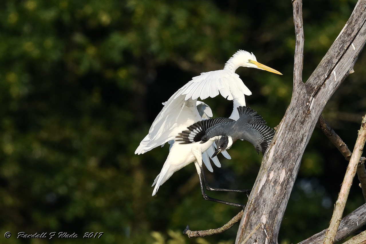 Belted Kingfisher And Great Egret