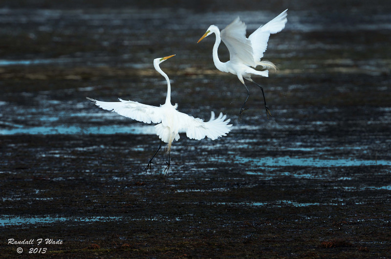 Great Egret Fish Fight