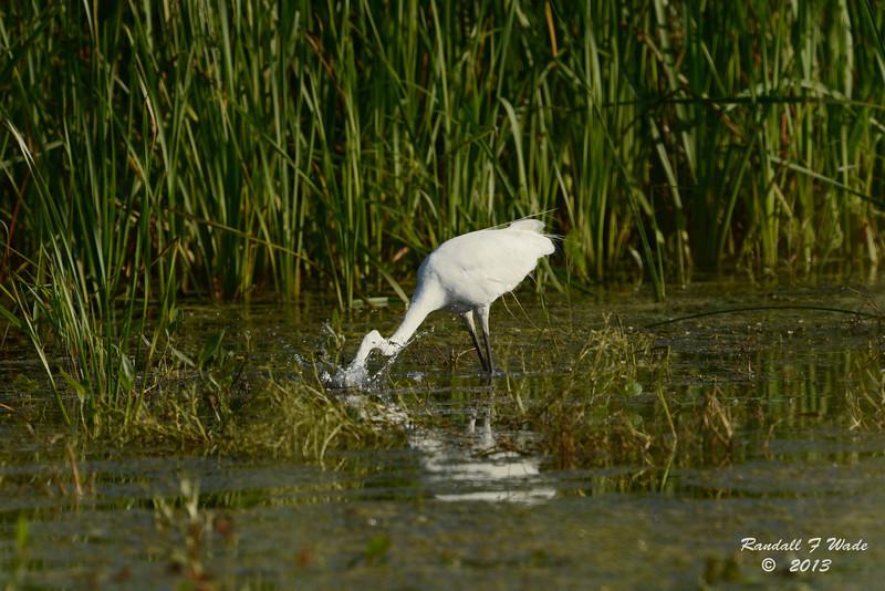 Great Egret Strike
