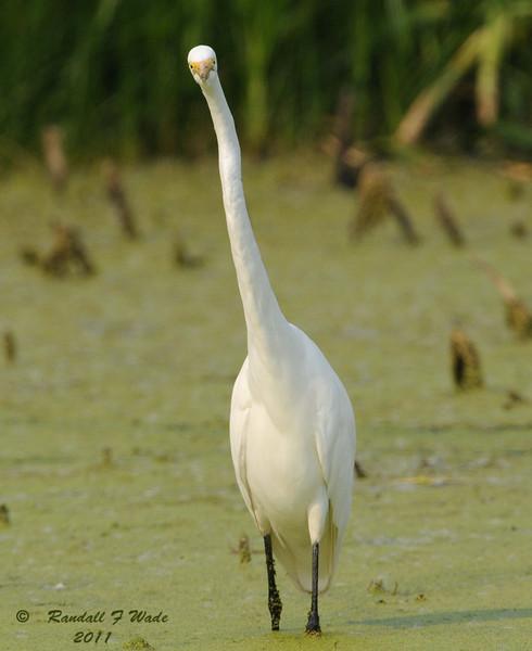 Great Egret, Lookin' at Ya