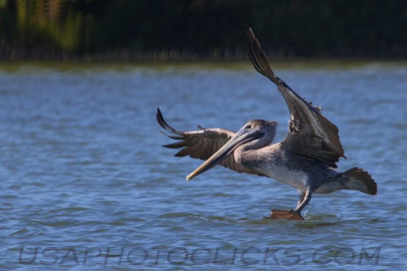 Brown Pelican (b1648)