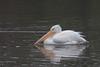 American White Pelican (b1633)