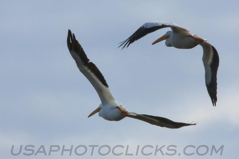American White Pelican (b1635)