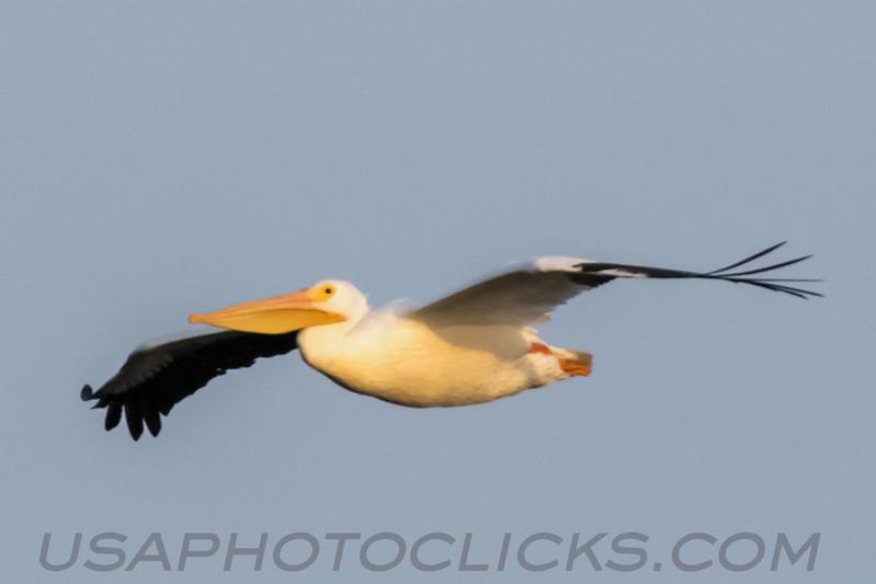 American White Pelican (b1637)