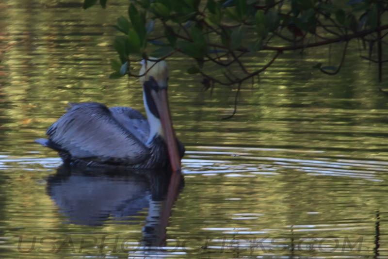Brown Pelican (b1643)
