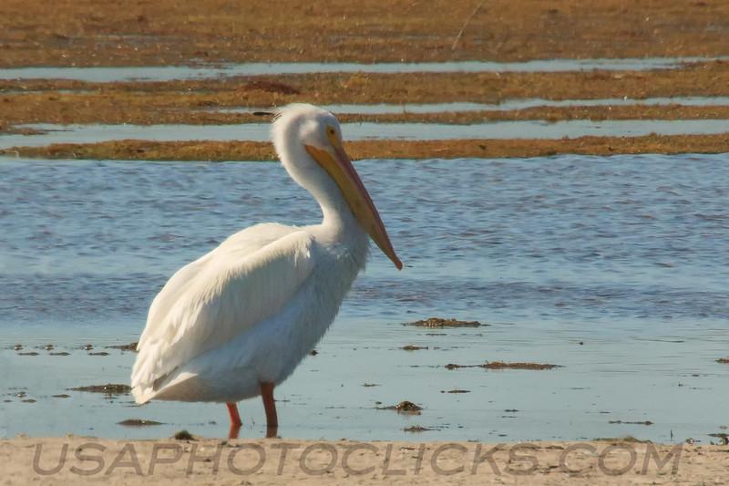 American White Pelican (b1631)